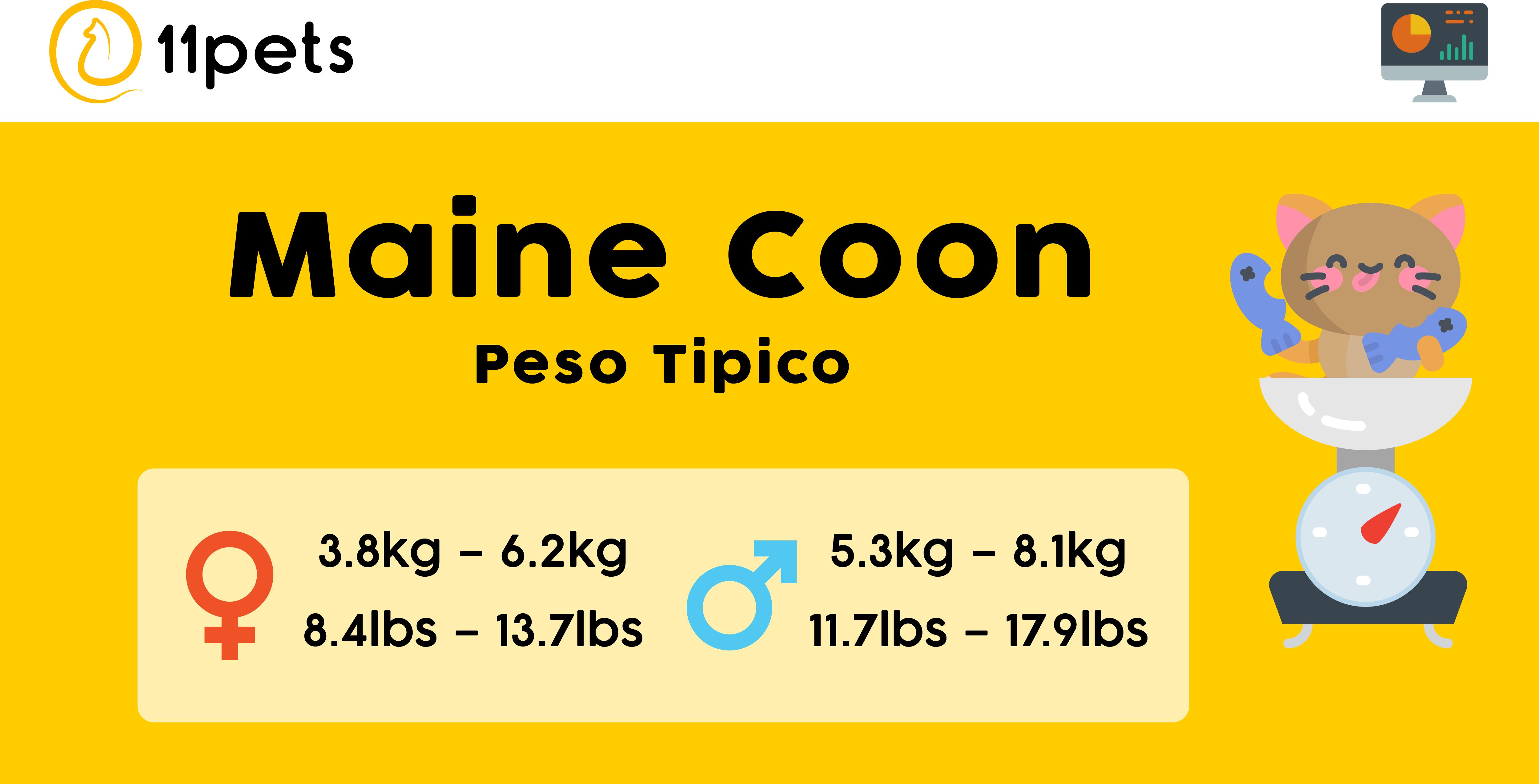 peso típico para gatos adultos Maine Coon