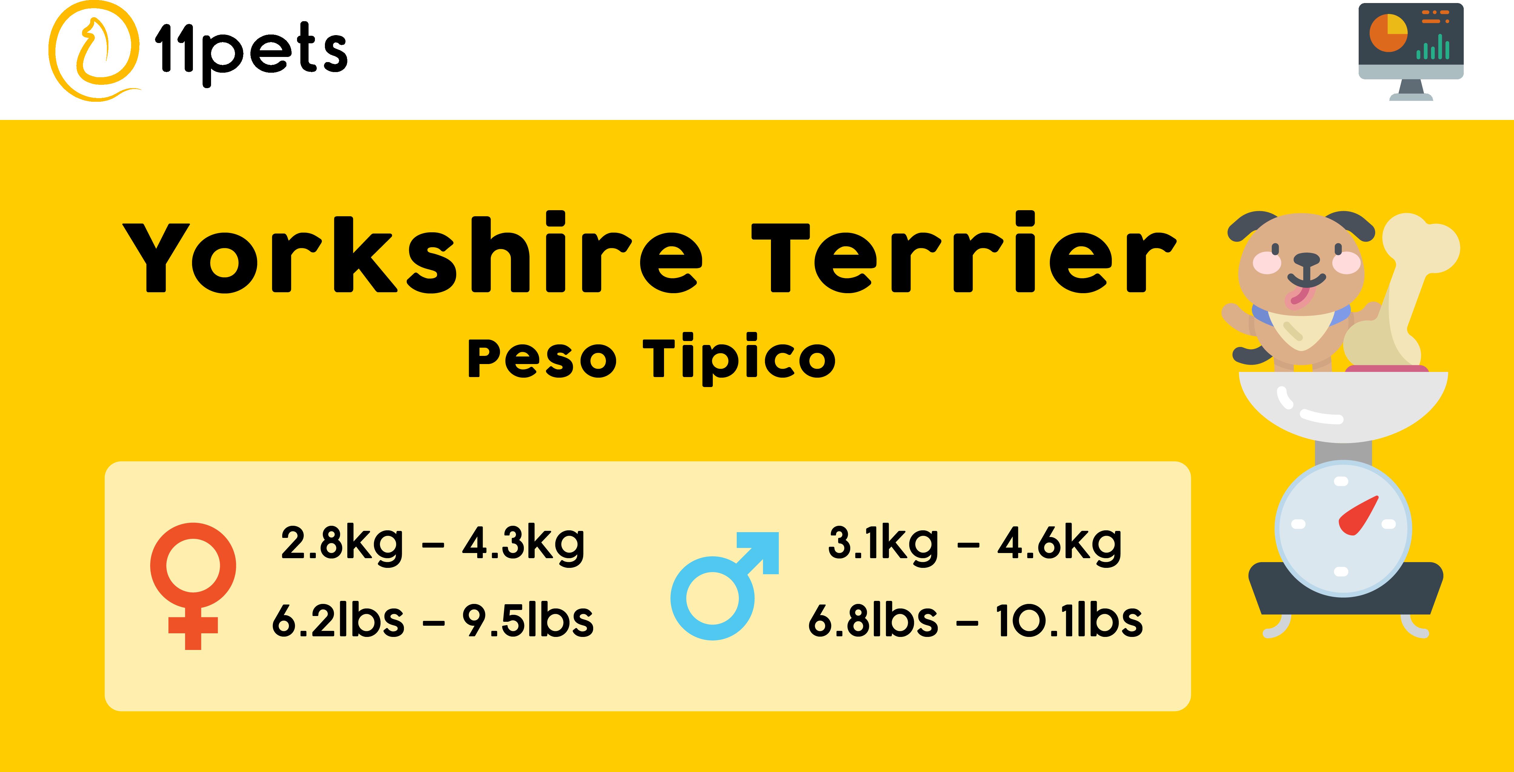 Peso tipico perros raza de Yorkshire Terrier