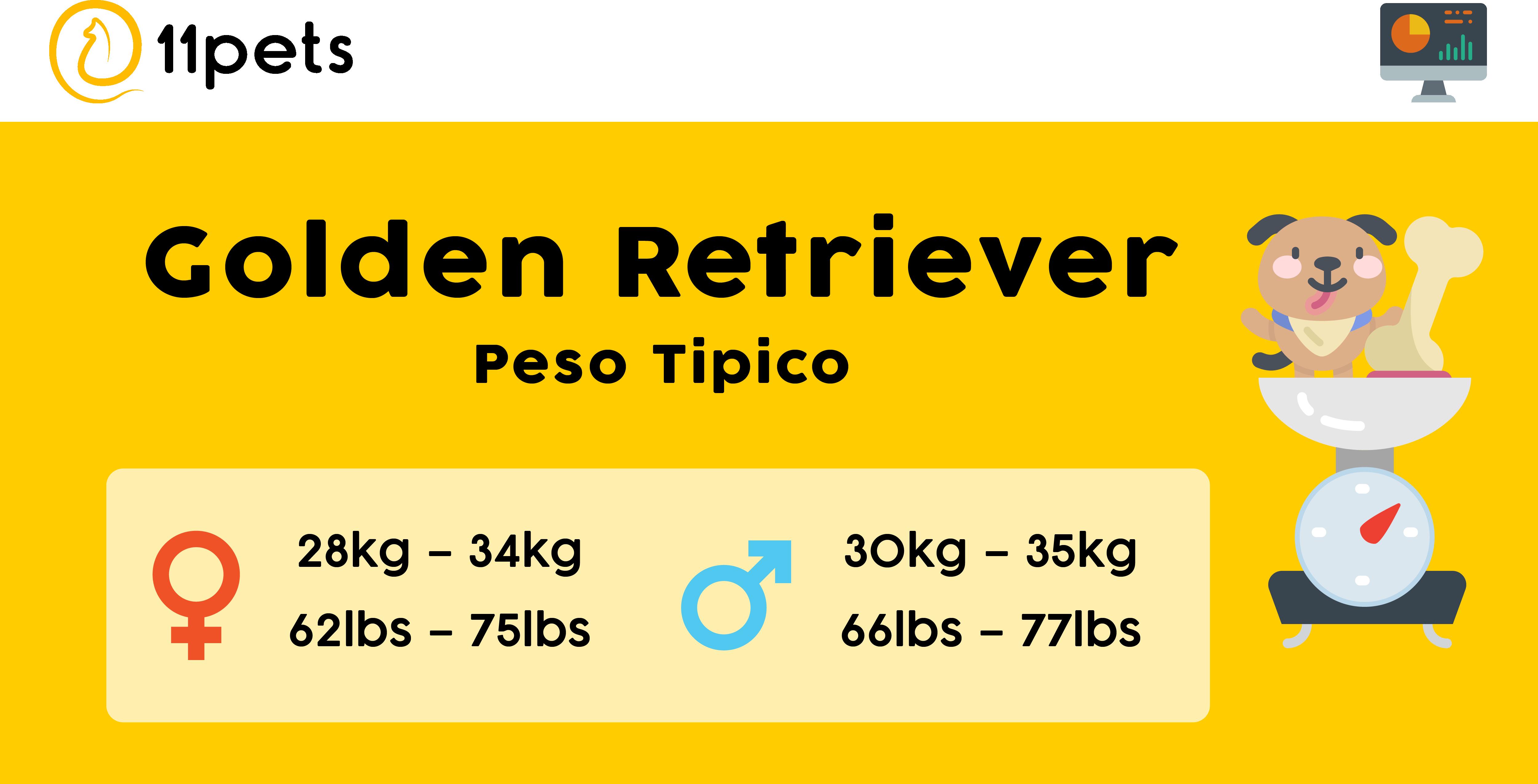 Peso tipico perros de raza Golden Retriever