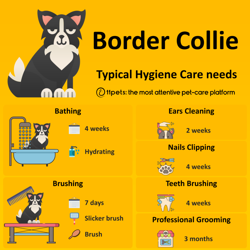 Hygiene Care Guide for Border Collie