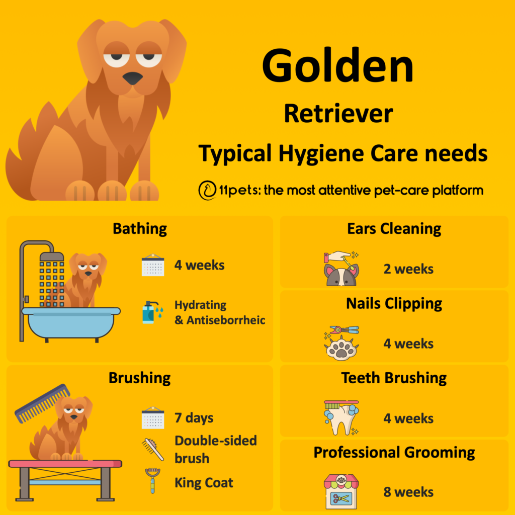 Hygiene Care Guide for Golden Retriever dogs