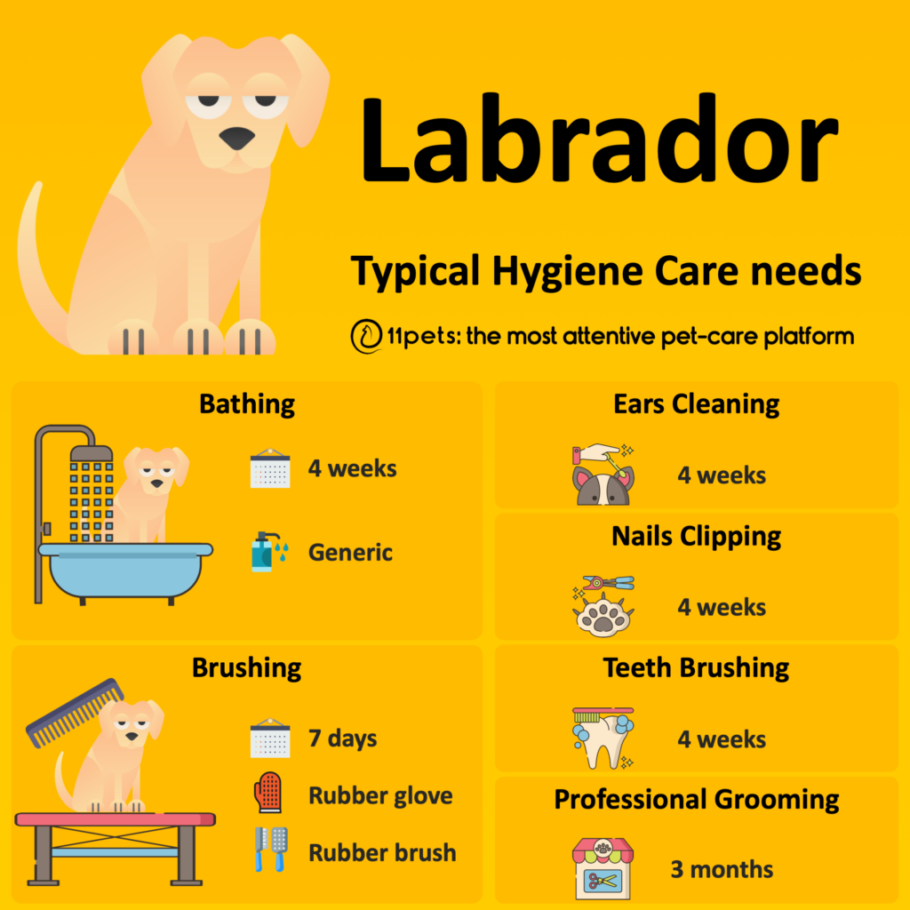 Hygiene Care Guide for Labrador dogs