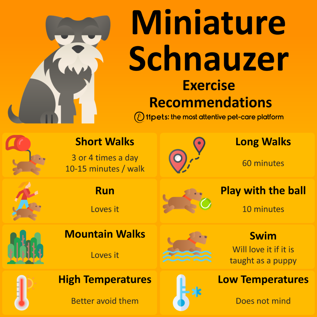 Miniature Schnauzer - Exercise Recommendations