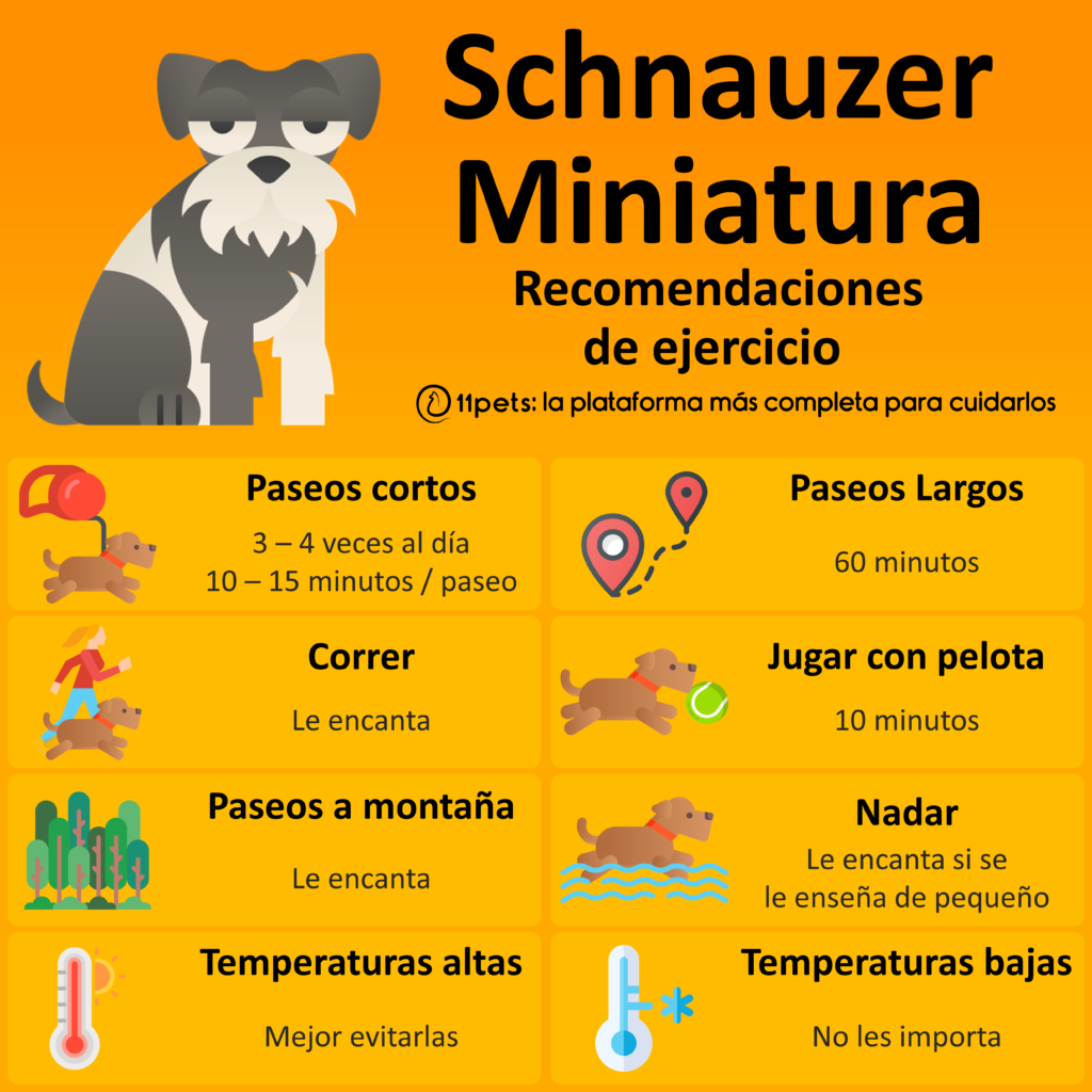 Schnauzer Miniatura - Recomendaciones de Ejercicio