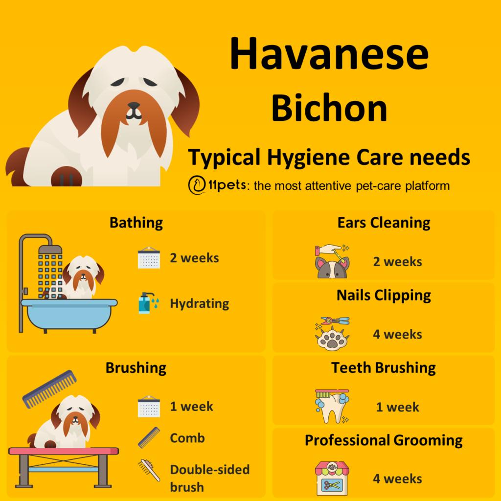 Havanese Bichon,  Hygiene, care
